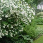 Жасмин садовый