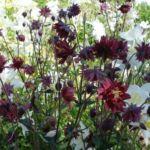 Сочетание цветов аквилегии