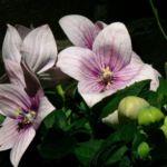 Фиолетовый платикодон