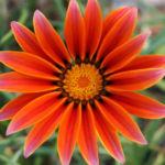 Оранжевая ромашка