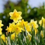 Цветок желтый нарцисс