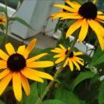 Цветок желтый кореопсис