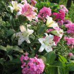 Лилии и флоксы в клумбе