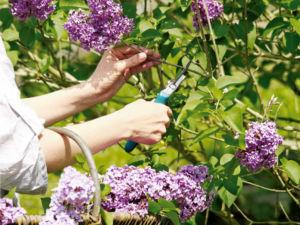Обрезка сирени во время цветения