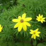 Цветок кореопсиса мутовчатого