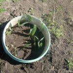 Ведро для посадки тюльпанов