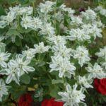 Молочай с белыми цветами
