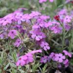 Флокс стелющийся фиолетовый