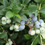 Голубика сорта Поларис