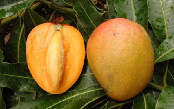 Как вырастить манго из косточки в домашних условиях? 25 фото Как правильно посадить и выращивать фрукт дома, как прорастить и ухаживать