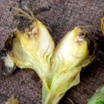 Лук с личинками луковой мухи