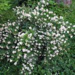 Сорт чубушника Горностаева мантия