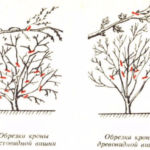 Обрезка кроны вишни