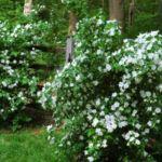 Садовый дизайн с чубушником