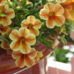 Желтый цветок калибрахоа