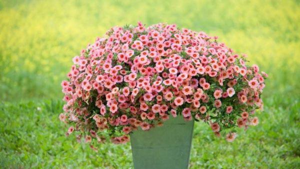 Калибрахоа - фото цветов, секреты, рекомендации, советы