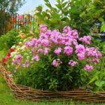 Флокс растет в саду