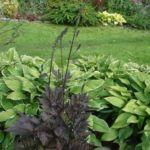Клопогон в саду