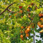Обыкновенный абрикос