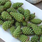 Сосновые шишки зеленые