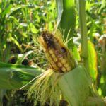 Совка вредитель кукурузы