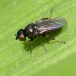 Шведская муха вредитель кукурузы