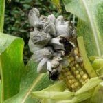 Головня на кукурузе