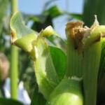 Стеблевой мотылек вредитель кукурузы