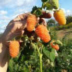Сорт малины Оранжевое чудо