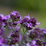 Цветки травы чабреца
