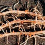Нематода на корнях фикуса