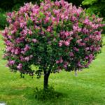 Деревце сирени Мейера