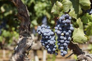 Взрослый виноград