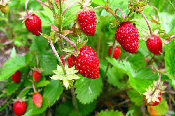 Земляника лесная  лечебные свойства листьев ягод и противопоказания