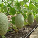 Подвесное выращивание дынь