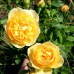 Роза сорта Graham Thomas