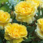 Роза сорта Шарлотта