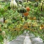 Подвесное выращивание тыквы