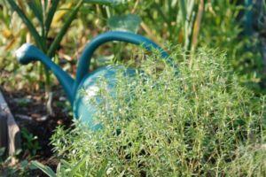 технология выращивание тимьяна из семян в сургуте