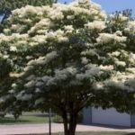 Дерево сирени амурской