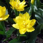 Тюльпан сорта Monte Peone