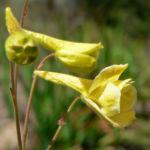 Цветок Дельфиниум желтый