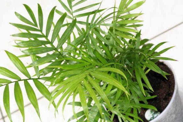 Комнатная пальма Хамедорея