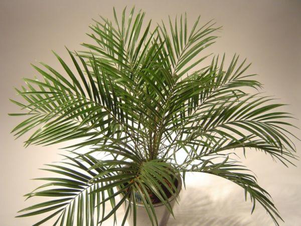 Финиковая пальма домашняя