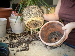 Пересадка комнатной пальмы