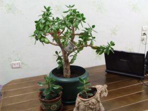 Денежное дерево дома