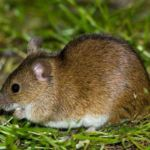 Особь полевой мыши