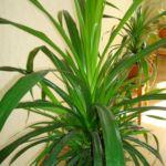 Ложная пальма Панданус