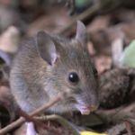 Особь лесной мыши