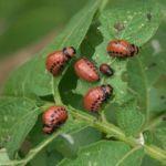 Вредитель баклажанов колорадский жук